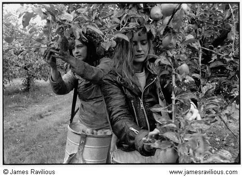 Girls picking apples, West Bradley, Somerset, England, 1988