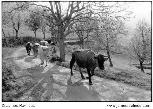 Cows coming home to be milked, La Vernède, Cévennes, France, 1982