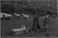 Archie Parkhouse and Ivor Brock moving a sick ram, Dolton, Devon, England, 1976