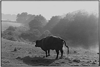 Red Devon cow, Narracott, Hollocombe, Devon, England, 1981