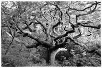 Oak tree (after Mondrian), Marsland, Devon, England, 1997